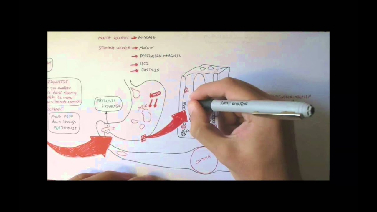 Digestive System Physiology Overview - YouTube