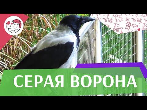 4 необычных факта о серых воронах на ilikepet