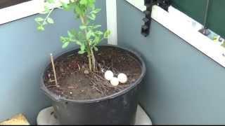 видео Голуби свили гнездо на балконе