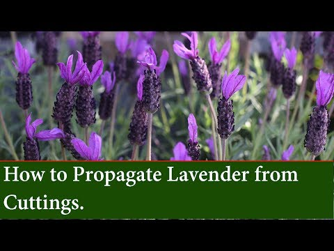 How to Propagate and grow Lavender from Cuttings