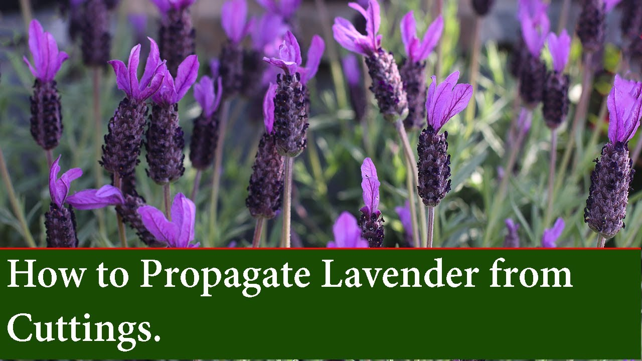 How To Propagate And Grow Lavender From Cuttings Youtube