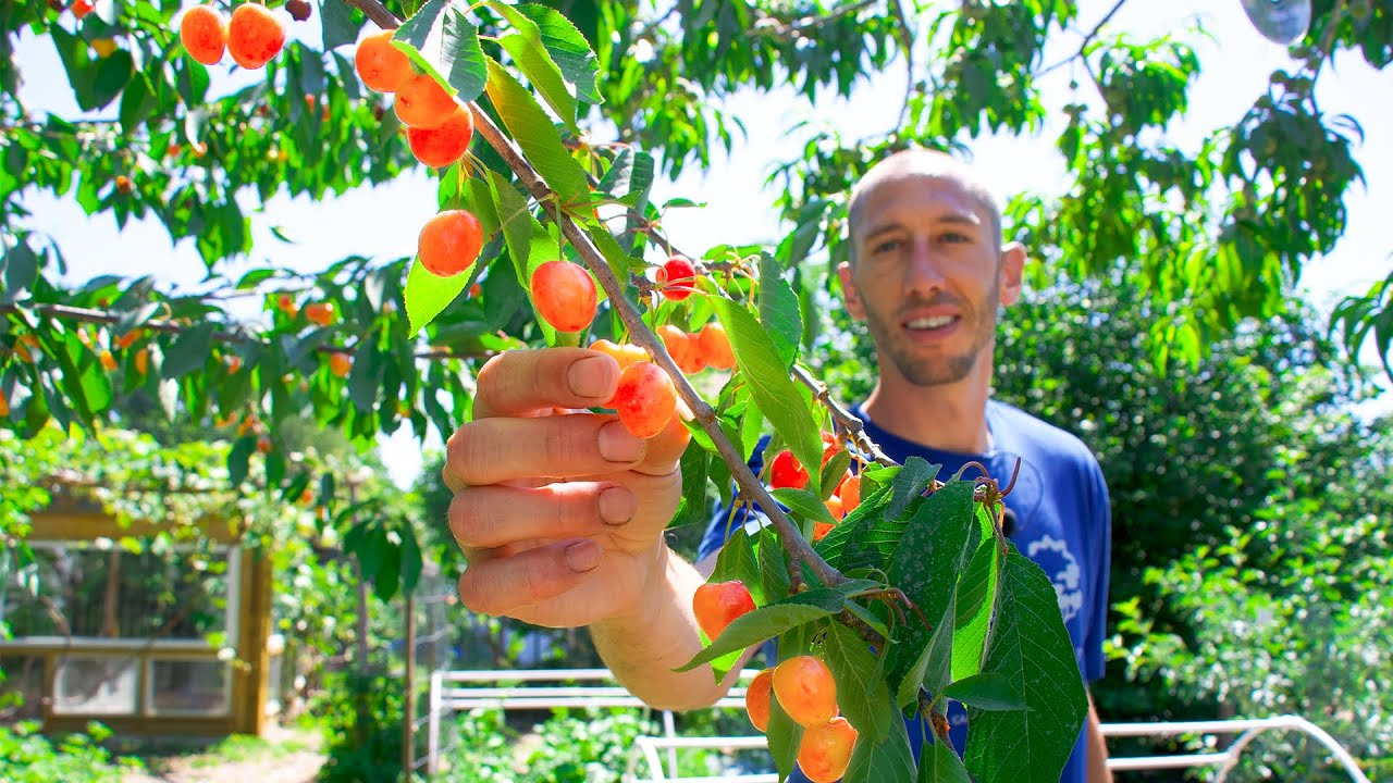 How to Grow Cherries, Complete Growing Guide and Harvest