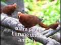 Suara Pikat Burung Uncal Tekukur Merah  Mp3 - Mp4 Download