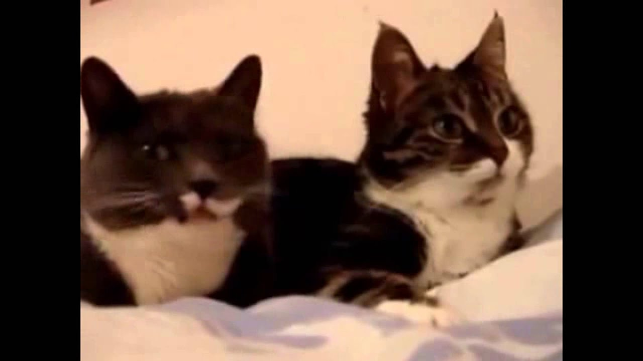 cats meowing compilation of cats meowing funny funny cat videos