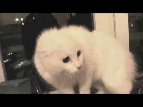 Белая кошка-демон шипит и пучит глаза