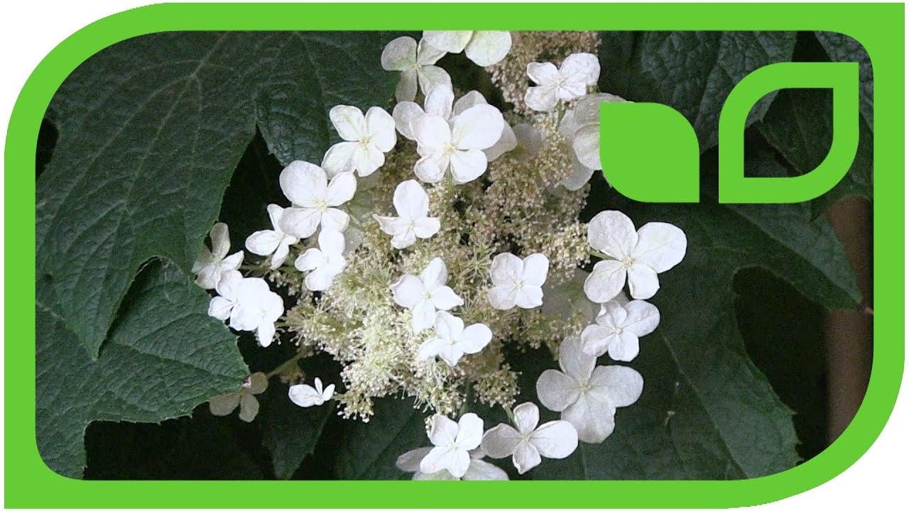 eichenbl ttrige hortensie als schatten balkonpflanze