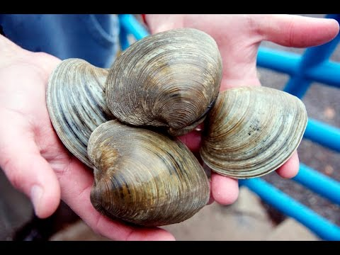 Little Neck Clams - Simple way to open little neck clams - quahogs