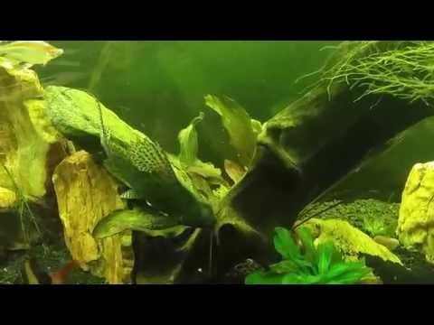 African Featherfin Squeaker Catfish (Synodontis Eupterus)