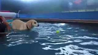 Labrador Retriever Beagle Hound Mix Ajax Jumps Off Of Float Into Swimming Pool!