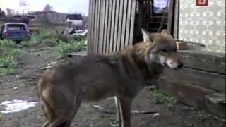家を購入した女性は前の飼い主が飼っていたオオカミも譲り受けました。...