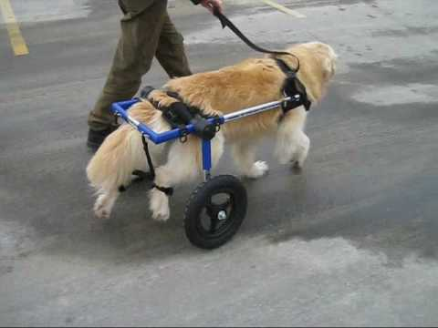 Dog walks in a Walkin' Wheels Wheelchair for the first time in months.