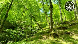 Красивый весенний горный лес. Пение птиц в Кавказском лесу.