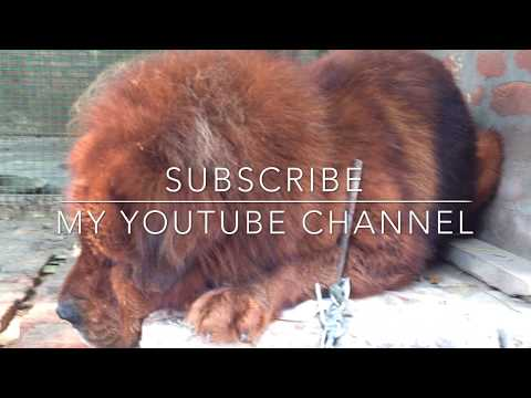 Tibetan mastiff dog ll red tibetan mastiff dog punjab india | +919417730301