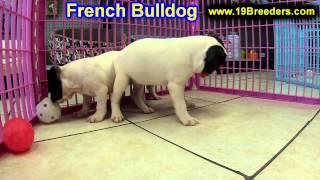 French Bulldog, Puppies, For, Sale, In,omaha ,nebraska, Ne,lincoln, Bellevue, Grand Island,