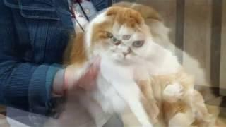КОТоМафия   Международная Выставка Кошек в Кирове