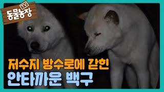 '저수지 방수로'에 두 달째 갇힌 백구의 안타까운 생활 I TV동물농장 (Animal Farm)   SBS …