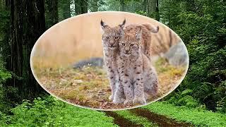 Рысь - представитель семейства кошачьих