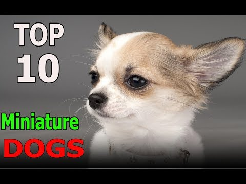 Top 10 Best Miniature Dog Breeds | Top 10 animals