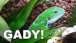 Baixar GADY! Węże, gekony, kameleony, legwan - leopard-gecko.pl & spidersonline.pl