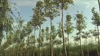 Sadzenie drzew alejowych z gołym korzeniem / Szkółka KULAS