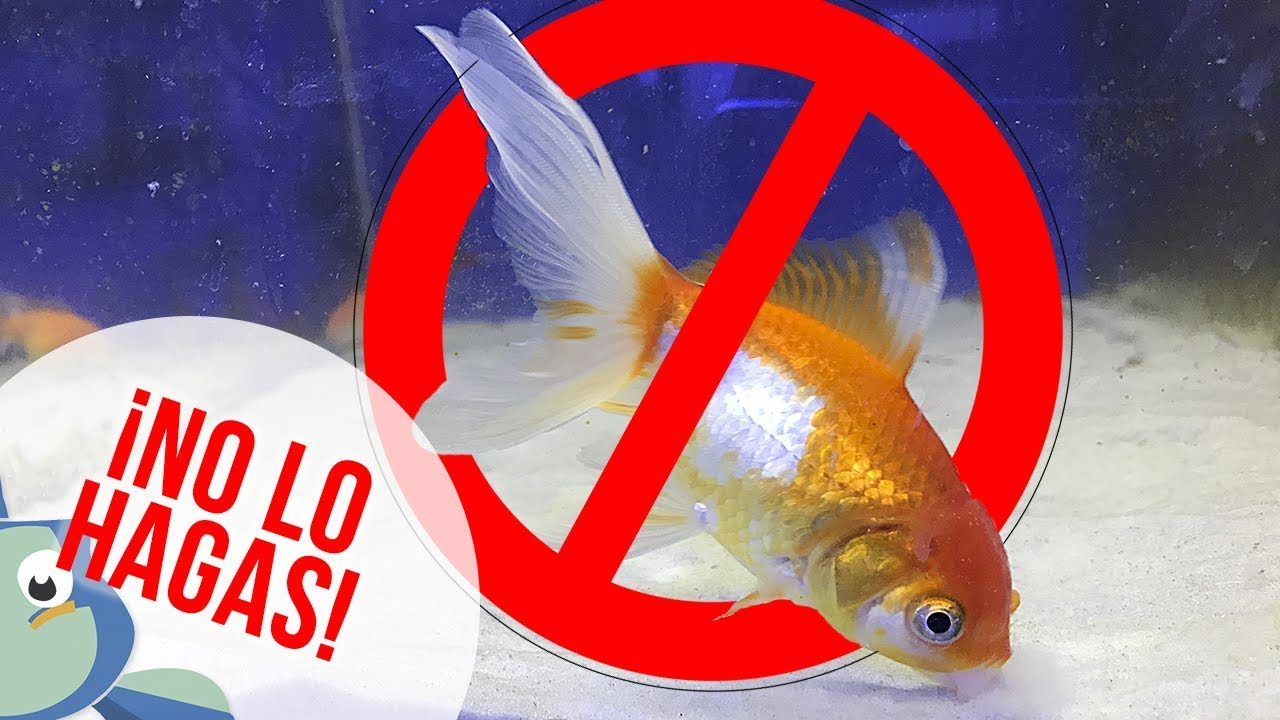 4 razones para no mezclar peces de agua fr a con peces for Cuidados acuario agua fria