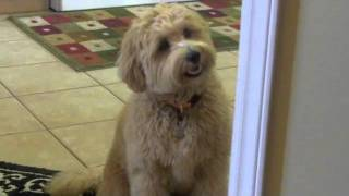 Does Your Dog Go Crazy When Visitors Arrive?
