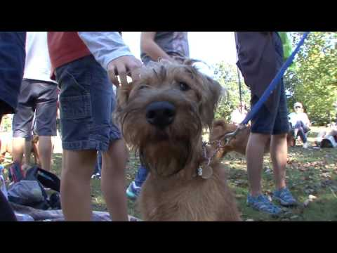 IRISH TERRIERS: Paws In The Park 2016
