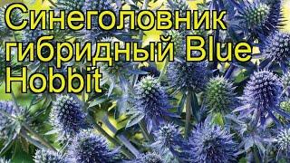 Самшит гибридный Блю Хоббит (Blue Hobbit). Краткий обзор, описание характеристик, где купить саженцы