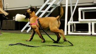 Belgian Malinois Puppy Training