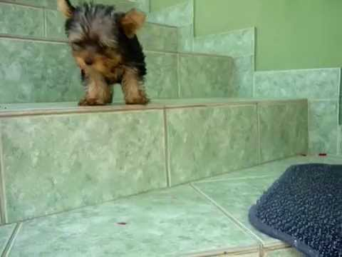 Yorkshire terrier's first steps on the stairs