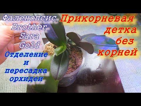 Прикорневая ДЕТКА орхидеи Brother Sara Gold без корней: отделение, посадка и результат.