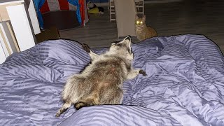 SPENT THE NIGHT WITH A RACCOON / Gorushka attacked the guests