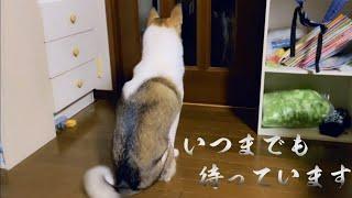 【感動】玄関から離れない【保護犬】手術の帰りを待つもみじ…もみじの姿に感動します!?