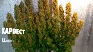 bLUEBERRY от XSEEDS (видео)