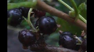 видео Как заморозить черную смородину на зиму