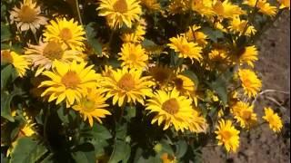 Рудбекия в моем саду - декоративная и неприхотливая. Еще один цветок для ленивых дачников...