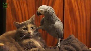 смешная кошка и приставучий попугай   прикольное видео
