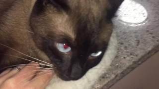 В доме кот - оберег от невзгод =^..^= СИАМСКИЕ КОШКИ