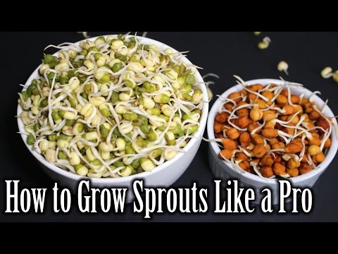 How to Grow Sprouts | Lentils Sprouts Recipe | How to Grow Sprouts at Home