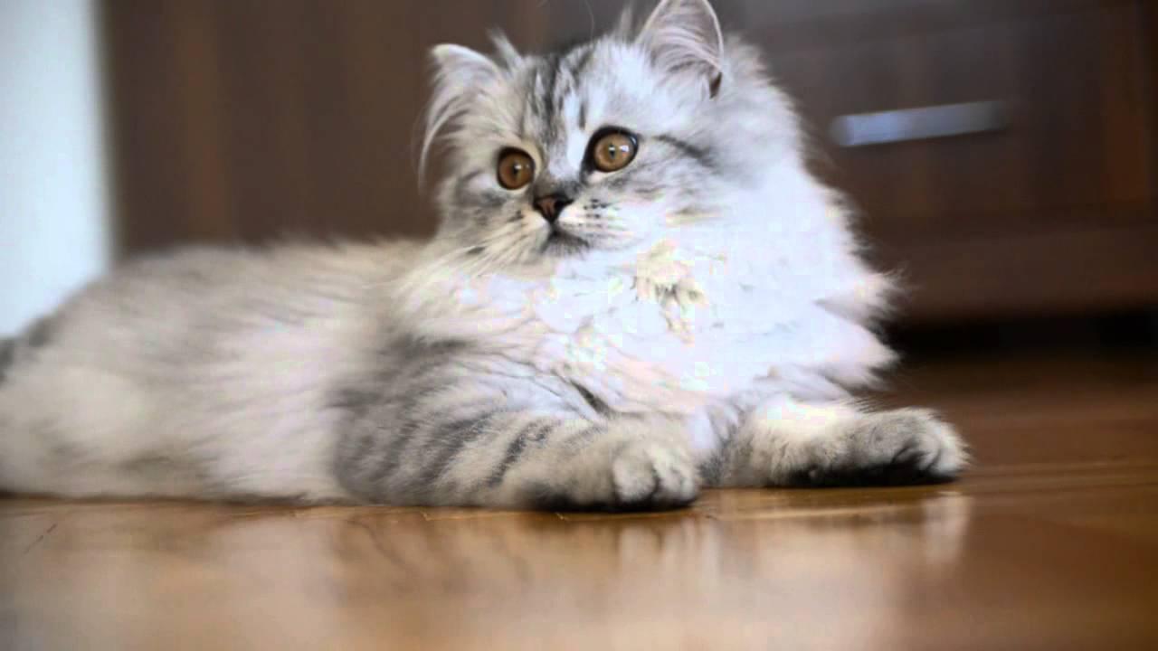 Luna Silver Persian Cat
