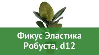 Фикус Эластика Робуста, d12 обзор ЦКР0127 бренд производитель