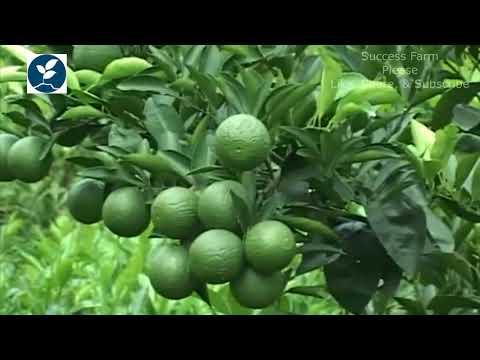 সুমিষ্ট ফল মাল্টা চাষে লাভবেশি, কিভাবে মাল্টা চাষ করবেন malta cultivation in bangladesh.