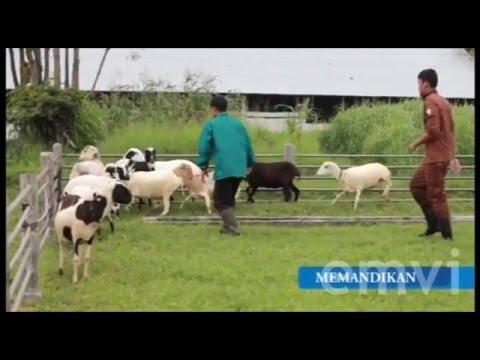 Domba Garut - Perawatan Ternak Domba