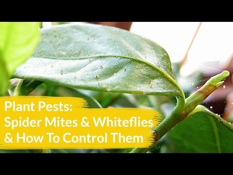 Plant Pests: Spider Mites & Whiteflies & How To Control Them / Joy Us Garden