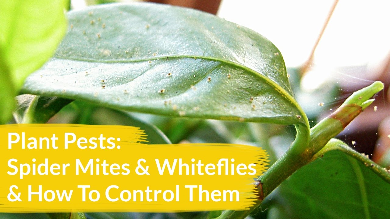 Plant Pests Spider Mites Whiteflies How To Control Them Joy