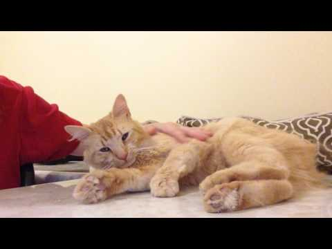 Henry - Manx/Cymric for adoption