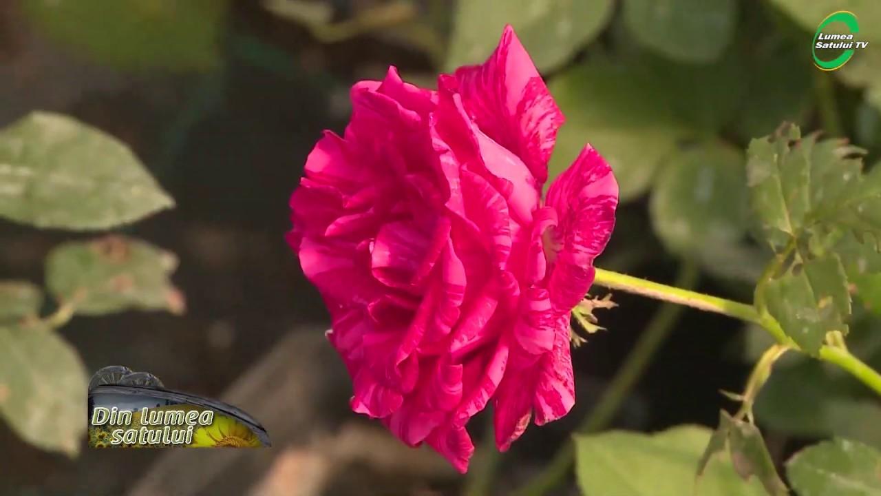 Cum se altoiesc trandafirii