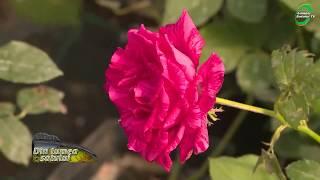 cum să scapi de paraziți pe trandafiri)