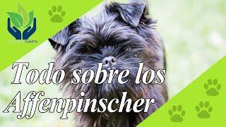 Affenpinscher: tipos, características, peligrosidad, crianza...