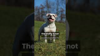 All About The Staffordshire Bull Terrier(Staffy) Breed #shorts